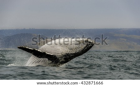 Close up view of a humpback whale breaching off the east coast of South Africa during the winter migration north to warmer waters - stock photo