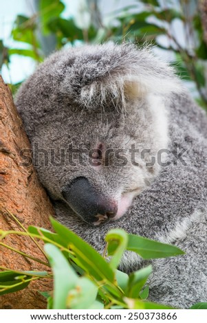 Close up view of a koala sleeping in a tree. - stock photo