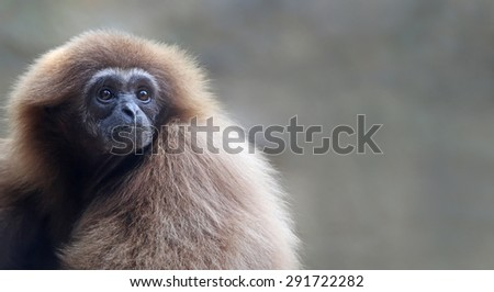 Close-up view of a lar gibbon (Hylobates lar) with copy space - stock photo
