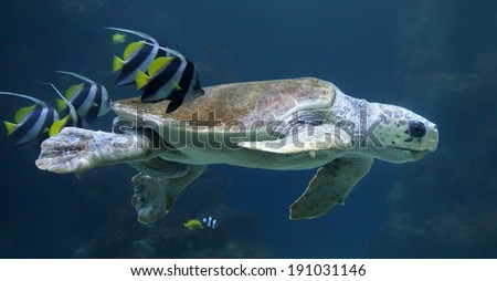 Close-up view of a Loggerhead sea turtle (Caretta caretta) with reef fishes  - stock photo