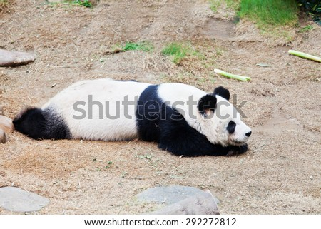 Close-up view of a panda taking a nap - stock photo