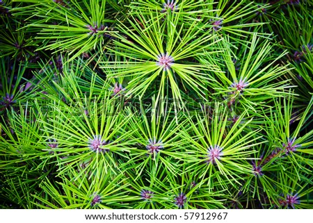 Close up view of a pine branch - stock photo