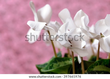 Close-up view of a pure white cyclamen against a pink lace cloth background, which illustrates the delicate beauty of its blossoms in a second view.