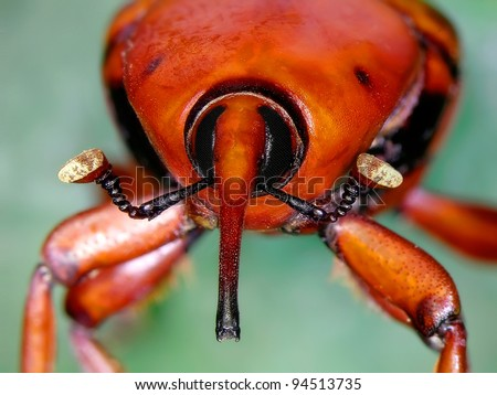 Close up view of a red palm weevil insect (is an asian beetle who is devastating hundreds of palms in the mediterranean area)
