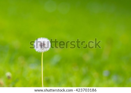 Close up view of a seed head of dandelion, with green grass in background, copy space available - stock photo