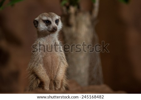 Close up view of a small meerkat or suricate (Suricata suricatta) on the dirt. - stock photo
