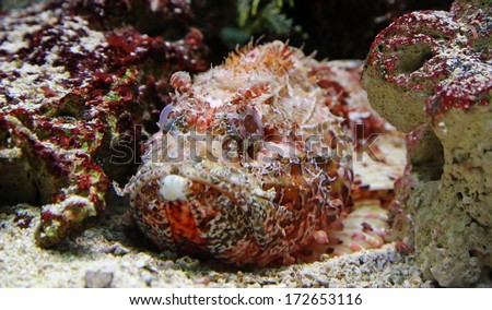 Close-up view of a Stonefish 02 - stock photo
