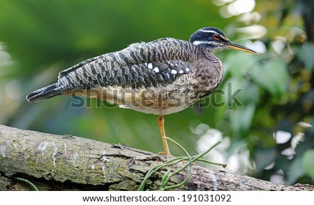 Close-up view of a Sunbittern (Eurypyga helias) - stock photo