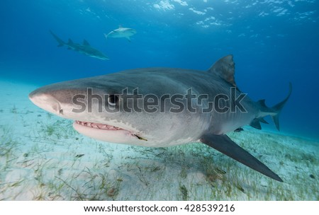 Close up view of a Tiger shark swimming in shallow water during a shark dive in the Bahamas, with a fish hook in it's mouth.  - stock photo