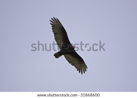Close up view of a turkey vulture flying by with its wings spread.