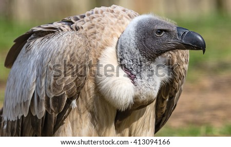Close-up view of a White-backed vulture (Gyps africanus) - stock photo