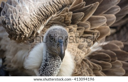 Close-up view of a White-backed vulture (Gyps africanus) taking a bath - stock photo