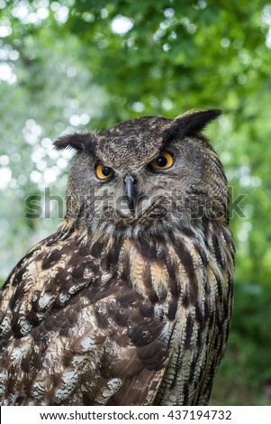 Close-up view of an Eagle Owl (Bubo Bubo) in a wooded area.