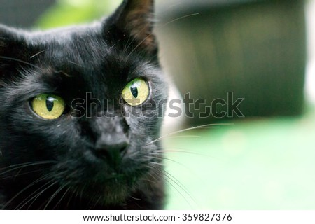 Close up view of an Havana Brown cat looking at viewer from edge of image.