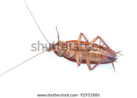 Close up view of asian cockroach on white background.
