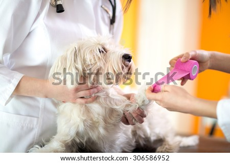 Close up view of bandaging hurt paw of Maltese dog in vet clinic - stock photo