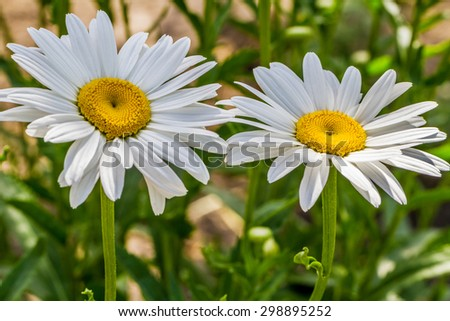 Close-up view of blooming white chamomile flowers in the garden