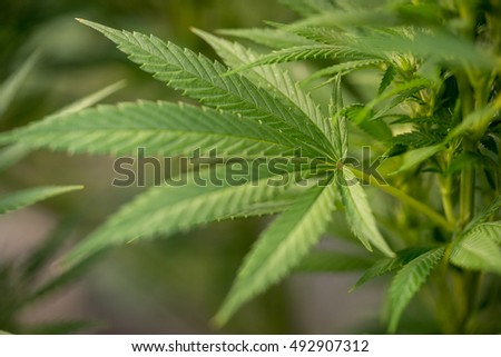 Close-up view of cannabis marijuana plant. Shallow depth of field with selective focus.