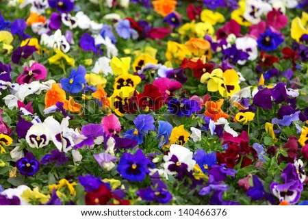 Close-up view of different viola flowers in the sunny day - stock photo