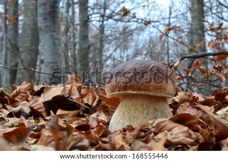 Close up view of excellent edible  Boletus mushroom among fallen leaves in late autumn beech forest - stock photo