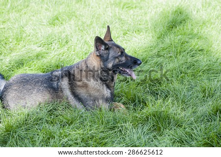 Close-up view of german shepherd on lying on vibrant green summer grass, shallow DOF