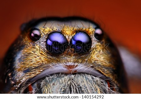Close up view of Hyllus Diardy jumping spider (biggest jumping spider in the world) - stock photo