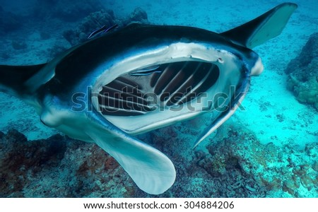 CLOSE-UP VIEW OF MANTA RAY MOUTH OPEN - stock photo