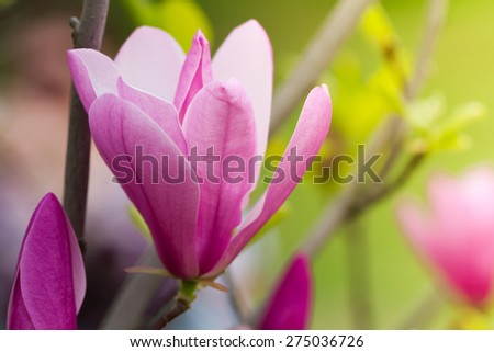 Close-up view of purple blooming magnolia in botanical garden - stock photo