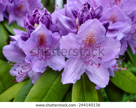 Close up view of purple flowers of rhododendron - stock photo