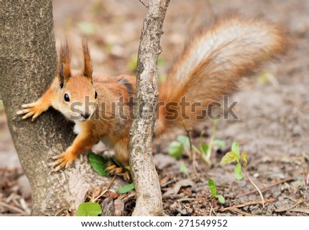 Close-up view of red squirrel near the tree in the forest. Focus on the face  - stock photo