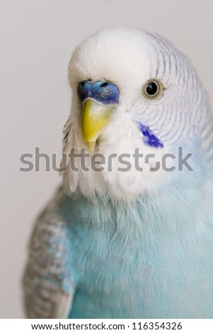 Close up view of the beautiful and colorful common pet parakeet. - stock photo