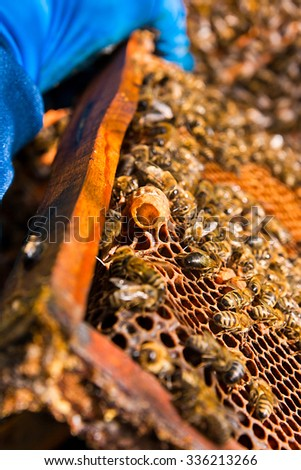 Close up view of the comb with young bee queen. Busy bees, close up view of the working bees on honeycomb. Bees close up showing some animals and honeycomb structure. - stock photo