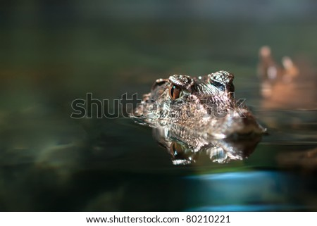 Close up view of the head of a crocodile - stock photo