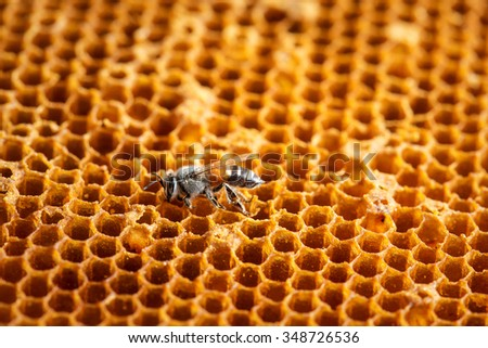 Close up view of the working bees on the honeycomb with sweet honey.