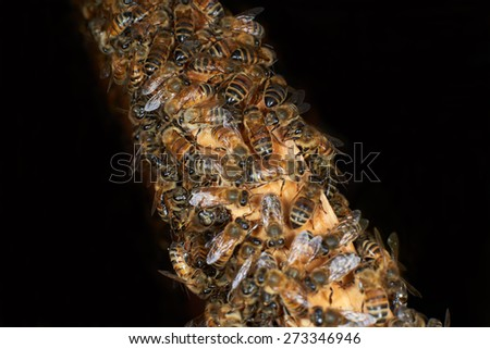 Close up view of the working honey bees on black background - stock photo