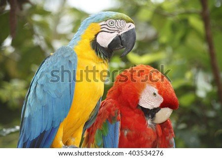 CLOSE-UP VIEW OF TWO PARROT BIRD ON A TREE IN THE BRAZIL FOREST