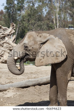 Close up view of wet elephant eating after the shower - stock photo