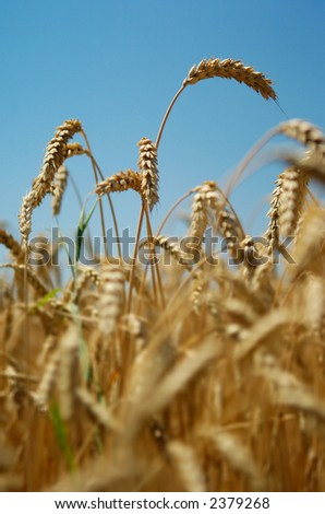 Close-up view of wheat spikes against blue summer sky, shot from a low perspective with shallow DOF, focus on the spike at the top