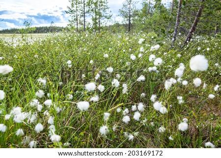 Close up view of white cotton grass with blossom, Karelia - stock photo