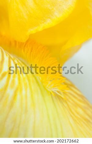 Close up view of yellow iris  - stock photo
