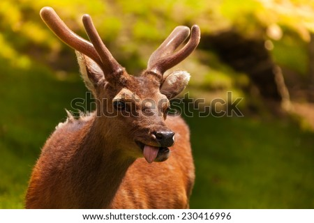 Close-up view of young funny deer putting out its tongue and smiling - stock photo