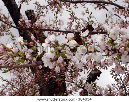 Close up view plum blossom tree during spring flowering season - stock photo