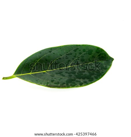 Close-up view single fresh green jack fruit leaf isolated on white background.