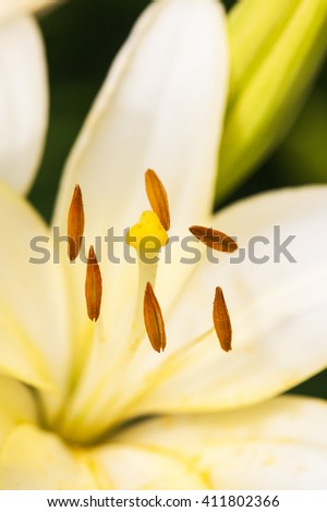 Close up view  the pistil and stamens inside white lily. - stock photo