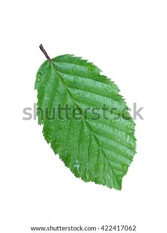 Close-up wet leaf isolated on white background - stock photo