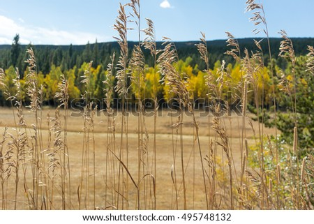 Close up wheat grasses with changing aspen leaves in the background
