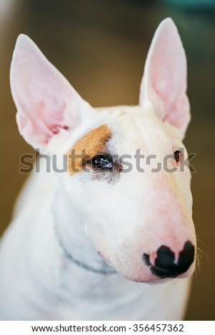 Close Up White Bullterrier Dog Portrait Indoor On Brown Background - stock photo