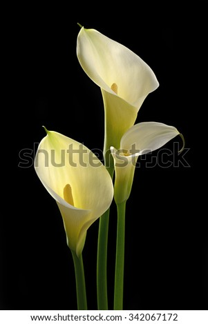 Close up white Calla lily isolated on black background - stock photo