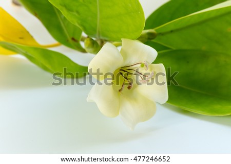 Close-up white flowers (Pua Keni Keni) isolated on a white background with copy space