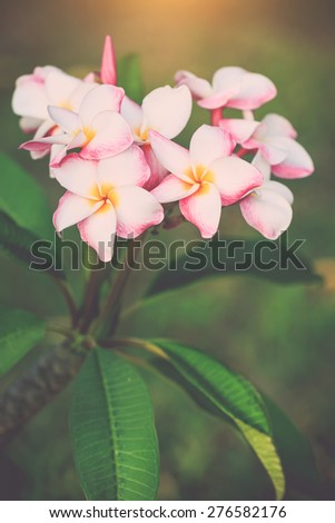 Close up white, pink and yellow plumeria frangipani flowers with leaves, with retro filter effect - stock photo